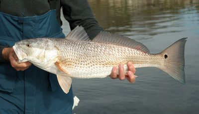 When to keep and release Redfish