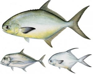 Pompano, Permit and African Pompano Regulations and Fishing Rigs