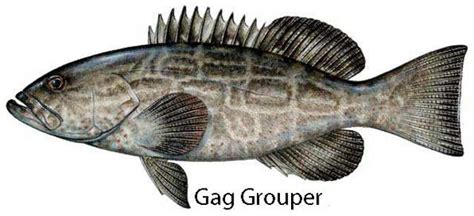 gag grouper best lures to use skylinejigs