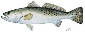 spotted seatrout skylinejigs