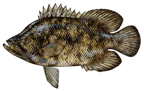 tripletail regulations