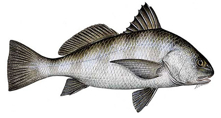Florida Recreational regulations for Black Drum