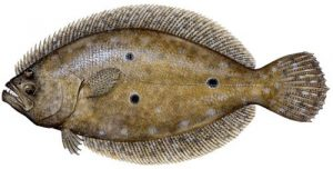 Recreational and Commercial Florida Flounder regulations